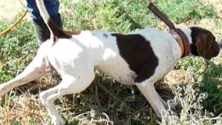 English Pointer Dog Training Sunrise Kennels 520-907-5690 Www.elhewpointersatsunrisekennels.com