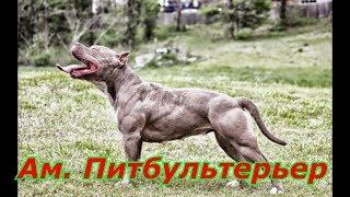 Американский питбультерьер или питбуль самая сильная и жёсткая бойцовая собака
