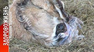 ЕСТЕСТВЕННЫЙ ОКОТ КОЗЫ. Как протекают роды у козы, КАК РОЖДАЮТСЯ КОЗЛЯТА. Козоводство. Здоровожизнь!