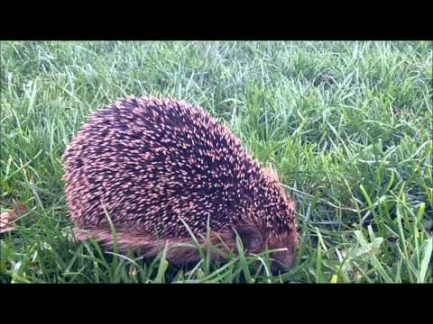 hedgehog - NMQ radio