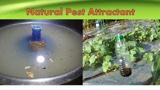 Effective Insect Pest Attractant and Light Trapping