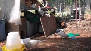 The great Fayoumi crow - at 5 weeks