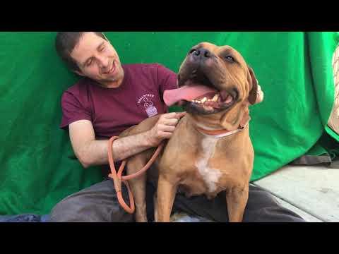 A5331526 Rose | Pitbull/Dog de Bordeaux