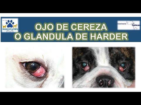 infeccion en los ojos en perros chihuahua