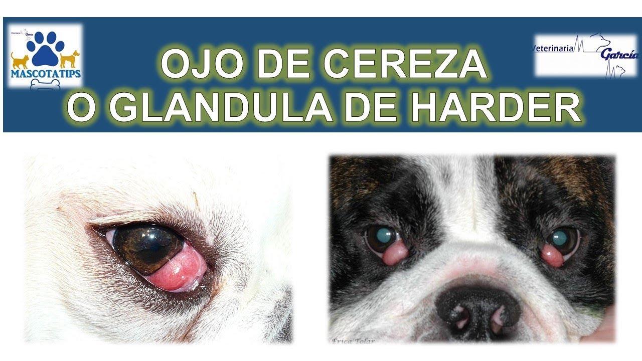 infección del ojo del perrito chihuahua