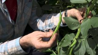 How to grow broadbeans - harvesting