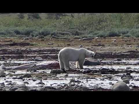 Polar Bears Feed on Dead Beluga Whale