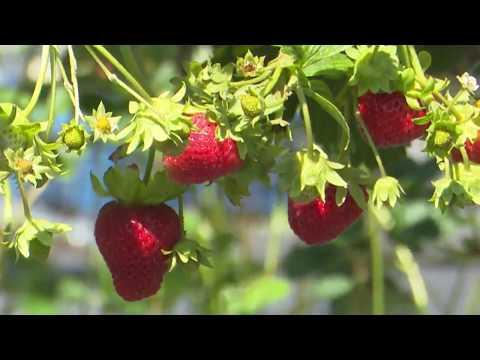 Секреты выращивания клубники на вертикальных грядках.