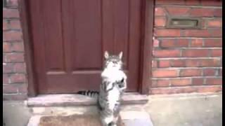 Kucing merayu suruh Tuan buka pintu