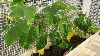Выращивание огурцов на балконе. GuberniaTV(Свежие домашние огурчики не могут заменить никакие покупные. Сочные, ароматные, хрустящие на грядках они..., 2014-03-25T02:55:17.000Z)