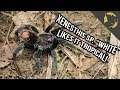 Xenesthis White Tarantula species found in Colombia!