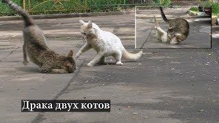 Драка двух котов
