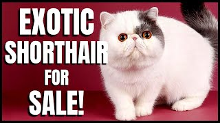 Exotic Shorthair for Sale!