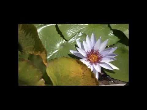 Producci n de plantas ornamentales acu ticas youtube for Produccion de plantas ornamentales