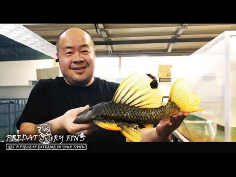 Catching CRAZY MONSTER PLECO For Store!