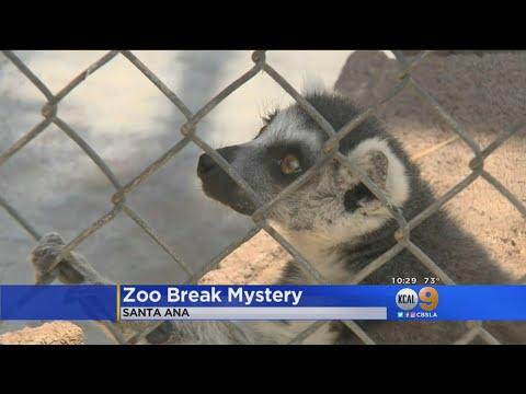 Lemur Back Home After Mysterious Monkey Caper At Santa Ana Zoo