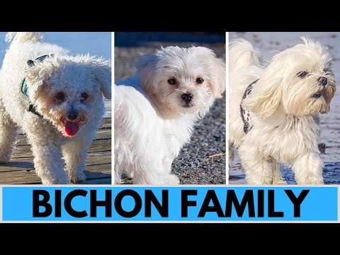 All Bichon Dog Breeds  Bichon Family