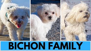 All Bichon Dog Breeds  Bichon Family