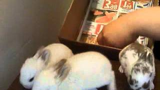 ADORABLE BABY BUNNIES FOR SALE !!