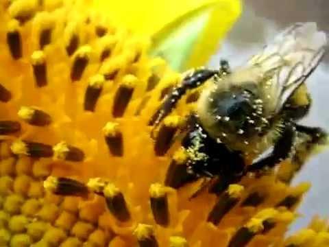 Как пчелы опыляют цветы