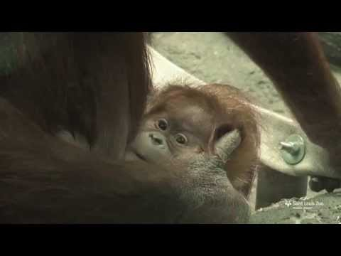 Sumatran orangutan baby at Saint Louis Zoo