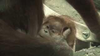 Sumatran orangutan baby at Saint Louis Zoo