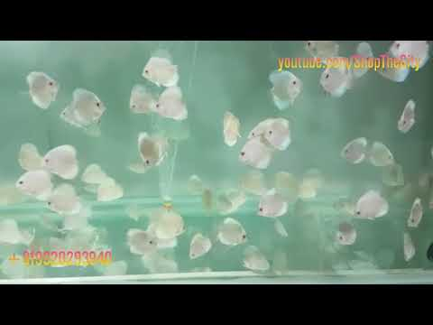 Discus Fishes For Wholesale With Price   V Aquaria   Borivali West Mumbai   Shop The City