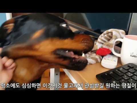 (Rottweiler & mongrel dog' story)로트와일러 땡칠이와 믹스견 곰이의 애교. cute dogs