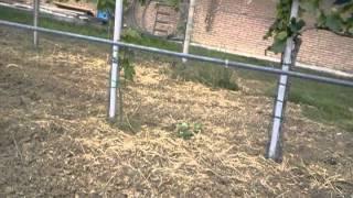 VITE - 22/05/2012 Sviluppo iniziale del nuovo tralcio