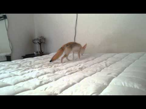 Fox on a bed