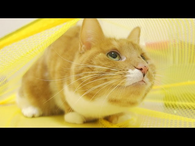 funny cat pawing many times / ?? ???????????????