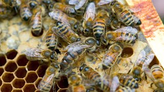 video: Bees don't just buzz, they 'toot' and 'quack' before appointing a new queen, study finds