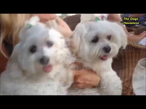 All About Havanese Dog