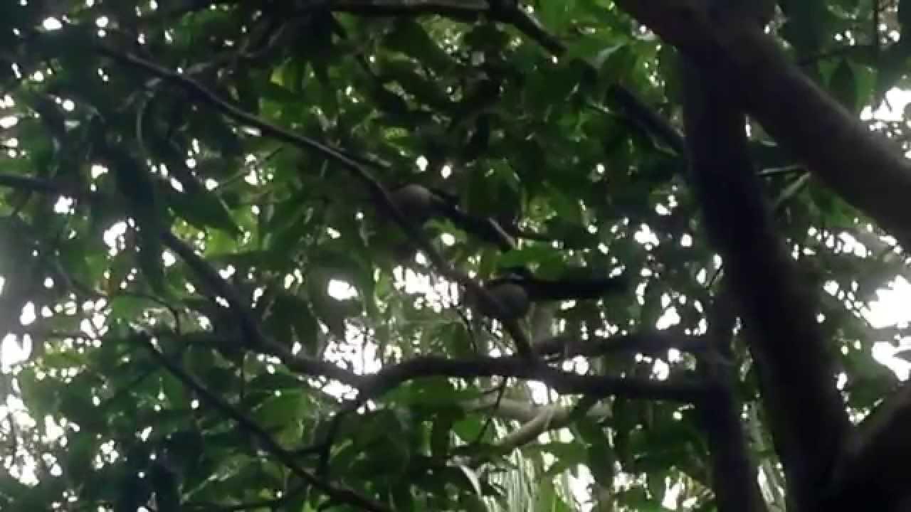 樹鵲響亮有個性的叫聲 - YouTube