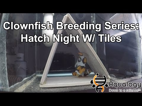 Clownfish Breeding Series - Hatch Night With Tiles Or Flowerpots