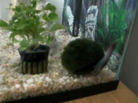 Betta fish rubing aqainst moss ball youtube for Betta fish moss ball