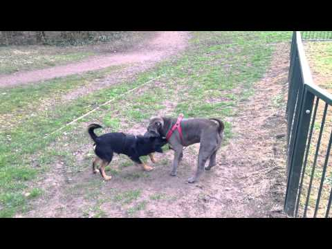 Cute Blue Shar Pei and Terrier Puppy Play Fighting
