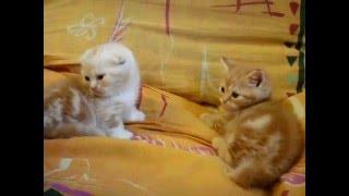 котята  манчкин красный мрамор и красный серебристый мрамор