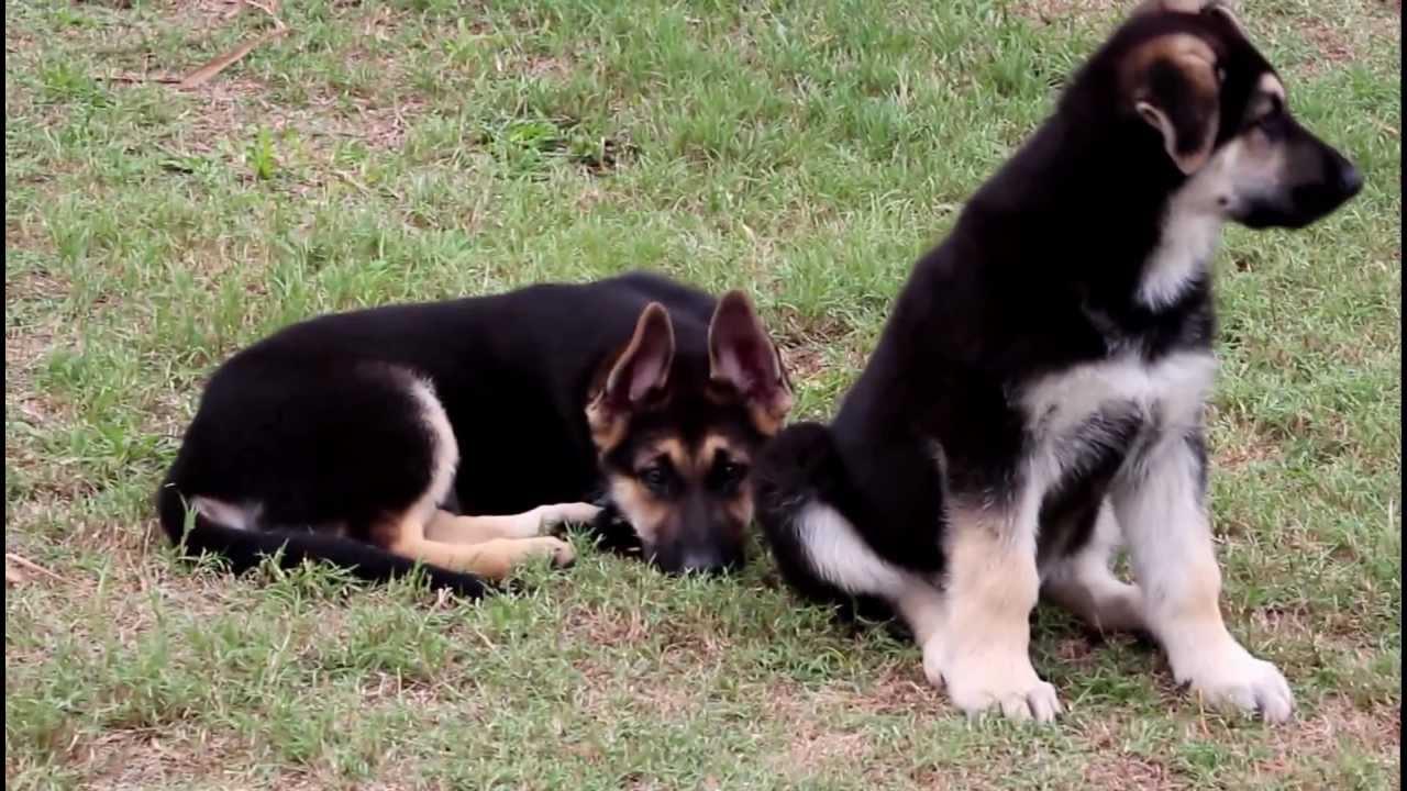 German Shepherd Dog Puppies For Sale Akc Registered German ...