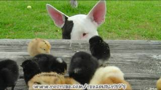 "Bull Terrier With Chicks. Shiva And Her ""litter"""