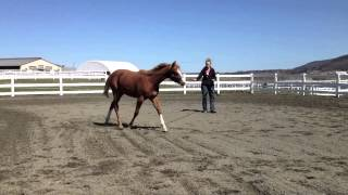 2013 PENN STATE SALE HORSE COBY JAZZY BLUES