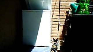 Emma The Miniature Doberman Pinscher Barking