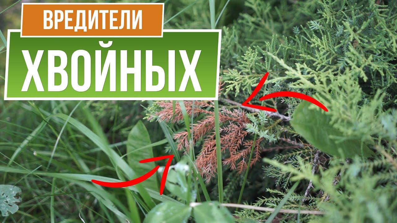 СРОЧНО! Проверьте хвойные на вредителей!! Как избавиться от насекомых на хвойных