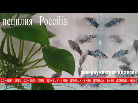 аквариумная рыбка пецилия, Poecilia