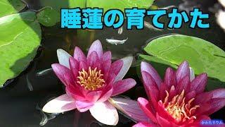 アクアリウム 睡蓮の育てかた thumbnail