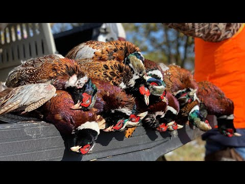 Pheasant Hunt Indiana 2019! - We Shot Some Wild Birds!