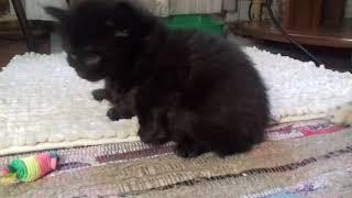 Котята ангорские