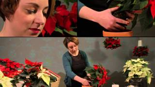 Decoration Ideas For The Home: Poinsettias In Sky Planters