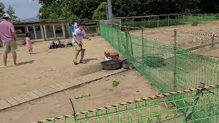 20200718 #양과닭밥주기 #알펜시아리조트 #동물농장