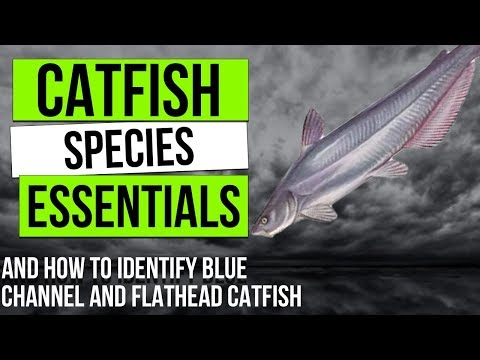 """The """"Big Three"""" Types Of Catfish (and How To Identify Them) - Catfish Species Essentials"""